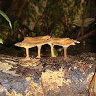 Nine leathery brown mushrooms
