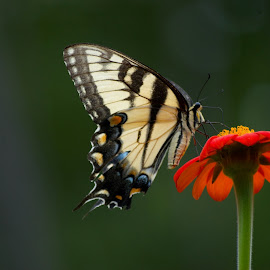Yellow Tiger Swallowtail Butterfly by Leah Lisee - Animals Other (  )