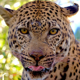 Butterfly Tongue by Sean de la Harpe-Parker - Animals Lions, Tigers & Big Cats ( big cat, predator, big cats, south africa, wildlife, kruger, leopard )