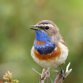 Bluethroat by Hans Olav Beck - Animals Birds ( bluethroat )