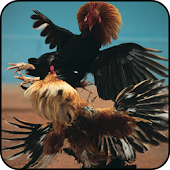 APK Game Angry Chicks: Rooster Fight for BB, BlackBerry