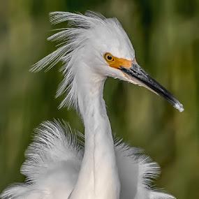 Snowy Egret with Attitude by Shutter Bay Photography - Animals Birds ( bird of prey, nature, nature up close, birds, snowy egret, egret,  )