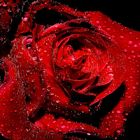 rose;) by Anand Kumar - Nature Up Close Flowers - 2011-2013 ( rose, red, petals, close up, flower, droplets )