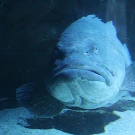 A Happy Grouper Welcome! by Paula Warren - Animals Fish ( aquarium, grouper,  )