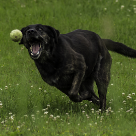 Blacky by Adrian Kurbegovic - Animals - Dogs Playing