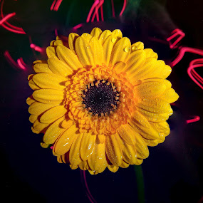 Groove by Danny Charge - Flowers Single Flower ( macro, light, single flower, yellow, light painting, lights, flower )