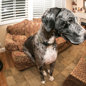 Have A Seat, Oliver by Glenn Clancy - Animals - Dogs Portraits ( sit, oliver, fisheye, couch, great dane )