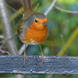 Robin by Roddy Scott - Animals Birds ( bird, wild bird, robin, nature, red breast, nature up close, nature close up, close up, garden bird )