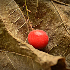 Red Berry on a dry leaf by Prasanta Das - Nature Up Close Other plants ( berry, dry, red, leaf )
