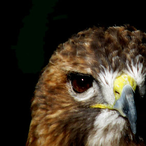 RED TAIL HAWK by Sharon Pierson - Animals Birds ( bird, shaded, half, hawk )