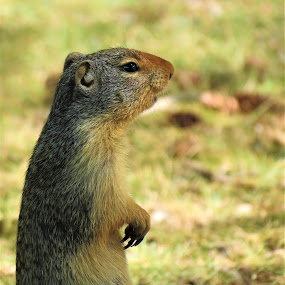 Ground Squirrel by Vijay Govender - Animals Other