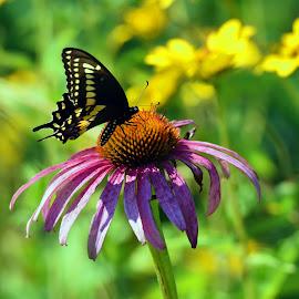 Spicebush Swallowtail Butterfly by Marie Brown-Serrazina - Flowers Single Flower ( nature, cornflower, summer, flower, #butterfly )