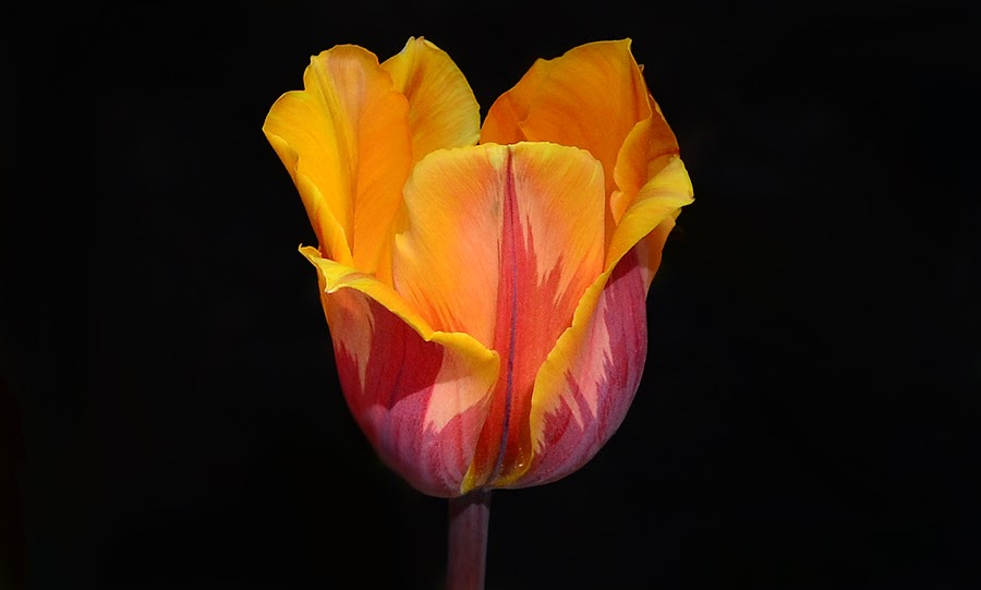 Pretty Tulip by William Lallemand - Novices Only Flowers & Plants ( flowers )
