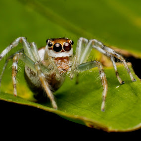 Jumper by Oren Kaler - Animals Insects & Spiders ( macro nature close up )