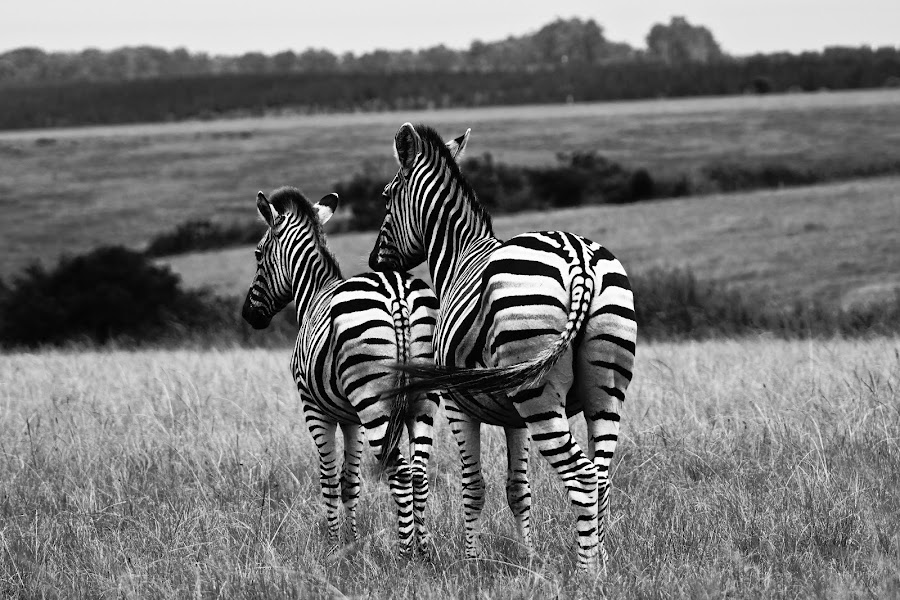 Zebra and foal by Robin Rowe - Animals Horses