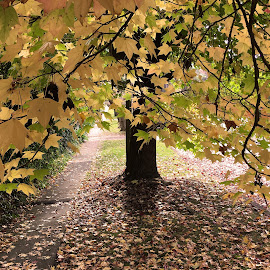 An Umbrella Of Autumn by Geoffrey Wols - Nature Up Close Trees & Bushes ( trunk, tree, autumn, green, fall, leaf, yellow, leaves, branches,  )