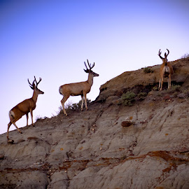 Walking On The Edge by Tina Hailey - Animals Other ( horns, tinas captured moments, buck, wildlife, deer )