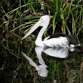 Reflective Pelican by Trevor Smart - Animals Birds ( australian pelican, bird, reflection, australia, shade, pelican,  )