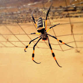 Golden Orb Web Spider by Gareth  Evans - Instagram & Mobile iPhone ( spider, africa, golden )
