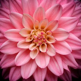 Nature's symmetries by Claudius Cazan - Flowers Single Flower ( pink flower, dahlia, close-up )