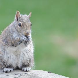 by Jadwiga Dabrowski - Animals Other ( squirrel )
