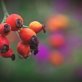 The wild rose by Michal Fokt - Nature Up Close Gardens & Produce ( rose hip )