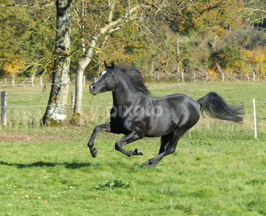 Arab Stallion by Laura Payne - Animals Horses ( stallion, gallop, equine, arab, horse, canter, sleek, suspension, blaze, run, space, equus, tail, field, open, free, movement, action, glisten, black, animal )