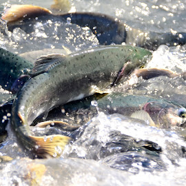 The Return by Rebecca Weatherford - Animals Fish ( water, spawning fish, pinks, tails, fish, alaska, fins, salmon, eyes )