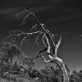 Dead Tree by Sarah Harding - Novices Only Flowers & Plants ( nature, tree, black and white, novices only, landscape,  )