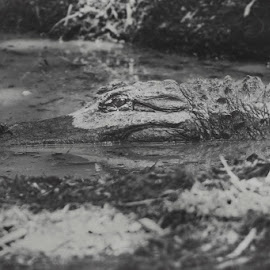 Waiting by Katie Shutter Bunny Meadows - Animals Reptiles ( scary, zoo, black and white, alligator, reptile, swamp )