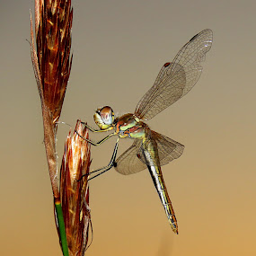 Dragonfly by Lanie Badenhorst - Animals Insects & Spiders (  )