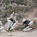 Australian Pelican Colony