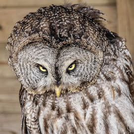 Coy by Garry Chisholm - Animals Birds ( bird, garry chisholm, nature, wildlife, prey, great grey owl )