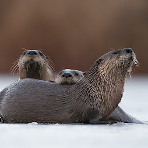 river_otters_indiana_1.jpg