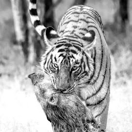 Tiger with kill by Pravine Chester - Black & White Animals ( big cat, tiger, black and white, photography, animal )