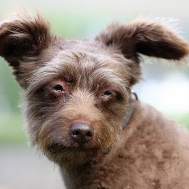Schokolina - 11.birthday by Carola Mellentin - Animals - Dogs Portraits