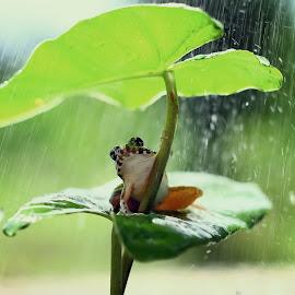 Frog on the leaf by Muhammad Ridha - Animals Amphibians