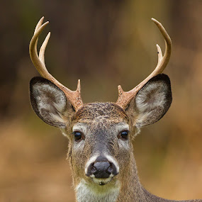 White tailed Deer by Herb Houghton - Animals Other Mammals ( 8 pointer, buck, white tailed deer, deer )