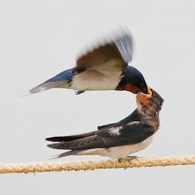 Fast-food Fly-by 2 by Howard Sheard - Animals Birds