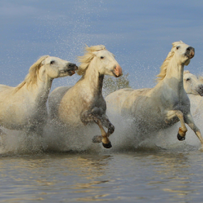 Galloping wild white horses by Helen Matten - Animals Horses ( galloping, mares, wild, horses, marshes, camargue, white )