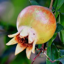 DALIM by SANGEETA MENA  - Nature Up Close Gardens & Produce