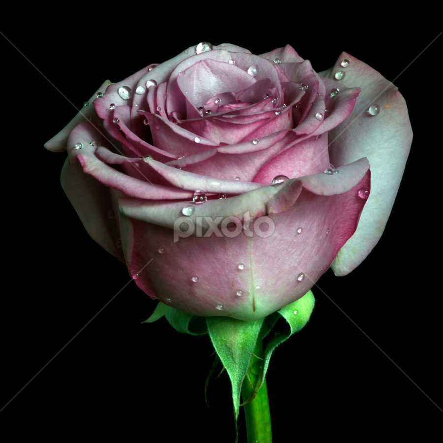 Rose by Cristobal Garciaferro Rubio - Nature Up Close Flowers - 2011-2013 ( rose, drop, roses, drops, flowers, flower )