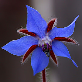 Another Borage Flower by Chrissie Barrow - Flowers Single Flower ( stigma, borage, single, stamens, petals, white, bokeh, sepals, macro, red, herb, blue, garden, black, flower, closeup,  )