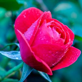 by Joseph Law - Flowers Single Flower