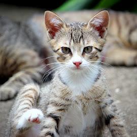 Lina by Biljana Nikolic - Animals - Cats Kittens