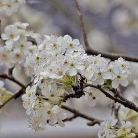 by Terry Linton - Flowers Tree Blossoms (  )