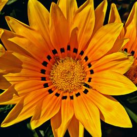 Yellow Flower-I by Saptak Banerjee - Flowers Flower Buds ( pattern, bright, india, yellow, garden, flower )