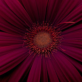 Blood Cell  by Pixie Hawes - Nature Up Close Other Natural Objects ( red, nature, petals, canvas, flower )