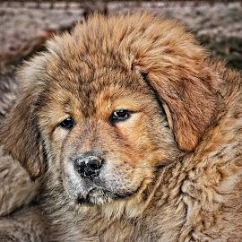 by Dubravko Butković - Animals - Dogs Portraits