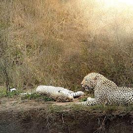 Lover's Lane by Bjørn Borge-Lunde - Digital Art Animals ( wild animal, predator, wilderness, big cats, nature, wildlife, africa, leopard )